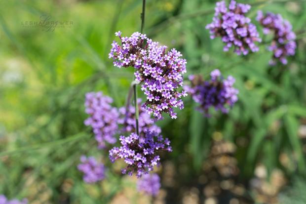 Lavender-Dreams